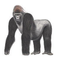 ...Cross River gorilla (gorilla gorilla diehli), Nigeria and Cameroon: The Cross River gorilla is t