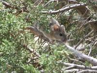 Image of: Neotoma albigula (white-throated woodrat)