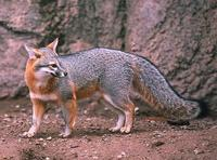 Image of: Urocyon cinereoargenteus (gray fox)
