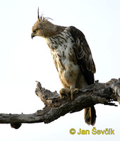 Spizaetus cirrhatus - Changeable Hawk-Eagle
