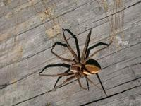 Image of: Lycosidae (wolf spiders)
