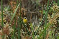 Image of: Geothlypis trichas (common yellowthroat)