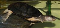 Image of: Pelomedusa subrufa (helmeted turtle)