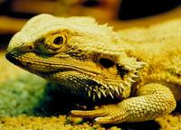 Pogona barbata - Inland Bearded Dragon