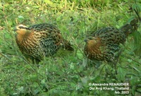Mountain Bamboo Partridge - Bambusicola fytchii