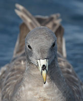 Northern Fulmar (Fulmarus glacialis) photo