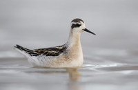 Red-necked Phalarope (Phalaropus lobatus) photo