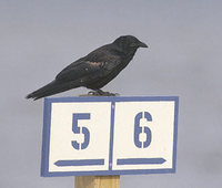 Fish Crow (Corvus ossifragus) photo