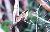 Broad-tipped Hermit - Anopetia gounellei