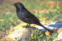 Red-winged Starling - Onychognathus morio