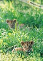 Lion cubs in grass (Panthera leo) photo