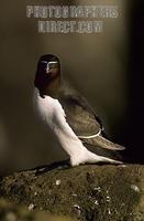 Razorbill , Iceland stock photo