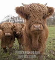 Highland Cattle , Loch Lomond and Trossachs National Park , Scotland stock photo
