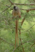 Speckled Mousebird p.220