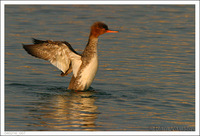: Mergus serrator; Red-breasted Merganser
