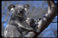 : Phascolarctos cinereus; Koala