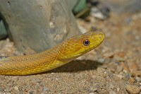 : Elaphe obsoleta quadrivittata; Yellow Rat Snake