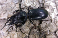 : Scarites subterraneus; Big-headed Ground Beetle