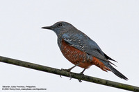 Blue Rock-Thrush (Immature) Scientific name - Monticola solitarius