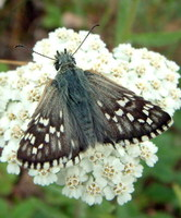 Pyrgus carthami - Safflower Skipper