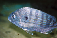 Archosargus rhomboidalis, Western Atlantic seabream: fisheries
