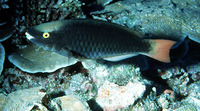 Scarus tricolor, Tricolour parrotfish: fisheries, aquarium