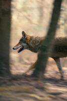Image of: Canis rufus (red wolf)
