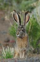Image of: Lepus californicus (black-tailed jackrabbit)