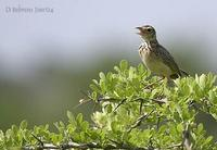 Image of: Anthus richardi (Richard's pipit)