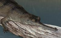 Image of: Gavialis gangeticus (Indian gharial)