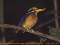 Rufous-collared Kingfisher - Actenoides concretus