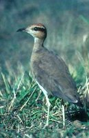 Temminck's Courser - Cursorius temminckii