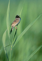 Japanese Reed (Ochre-rumped) Bunting (Emberiza yessoensis) photo
