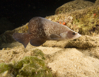 : Rypticus saponaceus; Great Soapfish