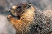 : Marmota flaviventris; Yellow-bellied Marmot