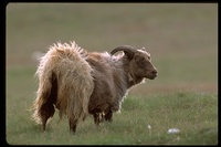 : Ovis aries; Icelandic Sheep
