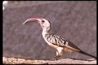 : Tockus erythrorhynchus; Red-billed Hornbill