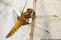 : Libellula depressa; Broad-bodied Chaser