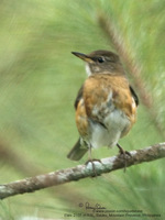 Brown-headed Thrush (female) Scientific name - Turdus chrysolaus