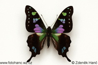 Graphium weiskei - Purple Mountain Emperor