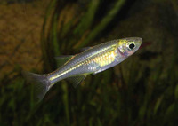 Marosatherina ladigesi, Celebes rainbowfish: aquarium
