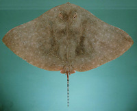 Gymnura poecilura, Longtail butterfly ray: fisheries