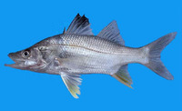 Centropomus unionensis, Union snook: fisheries, gamefish