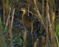 Image of: Rallus elegans (king rail)