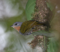 Rufous-throated White-eye - Madanga ruficollis