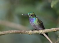 Blue-chested Hummingbird (Amazilia amabilis) photo