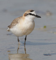 White-fronted Plover (Charadrius marginatus) photo