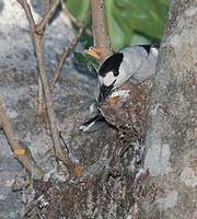 Hook-billed Vanga (Vanga curvirostris) photo