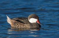White-cheeked (Bahama) Pintail (Anas bahamensis) photo