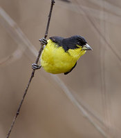 Lesser Goldfinch (Carduelis psaltria) photo